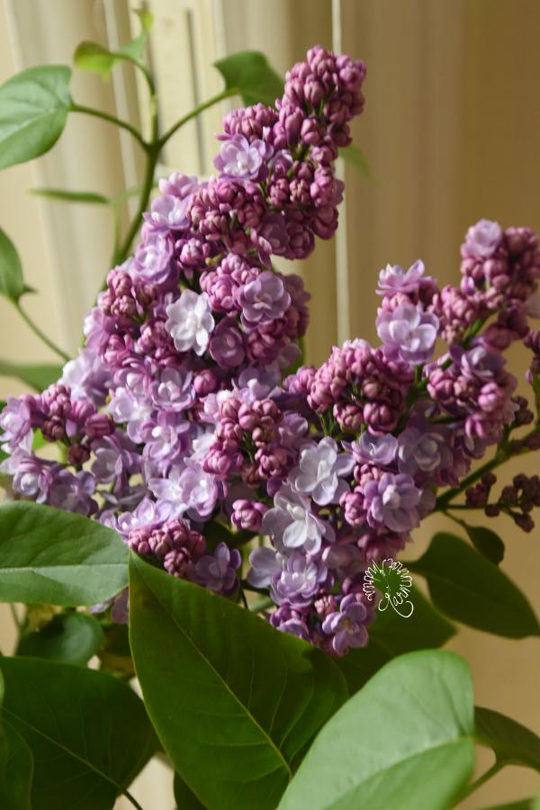 Stadtgeschichten und Flieder zum Flowerday