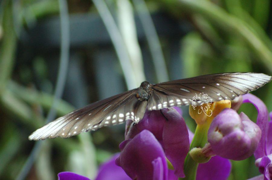 Schmetterling mit weißen Spitzen