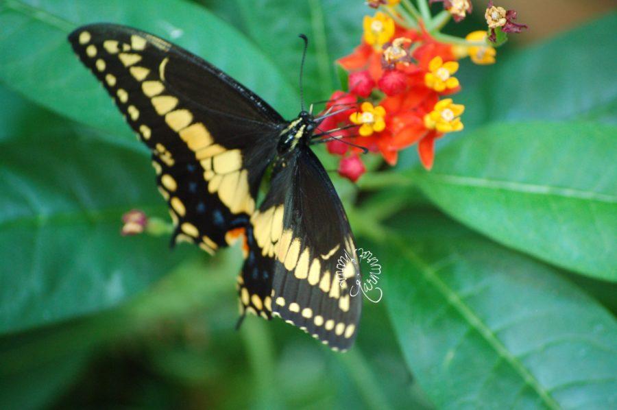 Schmetterling am Wandelröschen